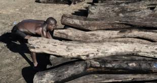 En mai 2014, sur une rive de la rivière Iagnobe, près du village d'Andanalavahil, des troncs coupés illégalement dans le parc national de Masoala, au nord de Madagascar. CRÉDITS : MICHAEL ZUMSTEIN/AGENCE VU