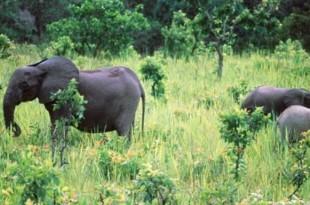 Des éléphants de forêt dans le parc de la Lopé, au Gabon, en novembre 1999. CRÉDITS : - / AFP