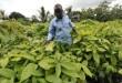 Une plantation de cacao en Côte d'Ivoire. © AFP/ SIA KAMBOU