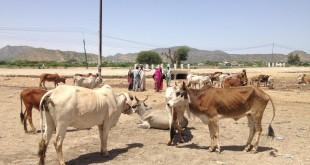 Certaines régions du Somaliland ont perdu 80 % du bétail pour cause de sécheresse. © N. Williams/Save the Children