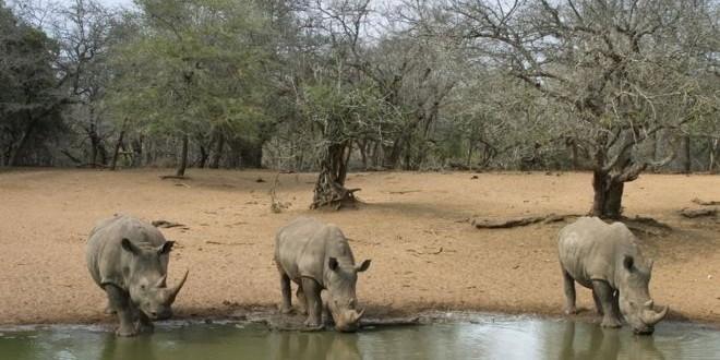 Trois rhinocéros blancs