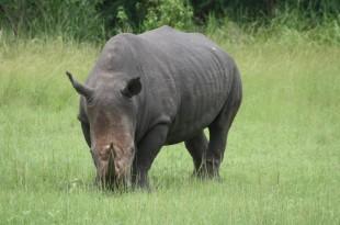 Photographie de l'un des derniers rhinocéros d'Afrique de l'Ouest. © Frédéric Garat / RFI