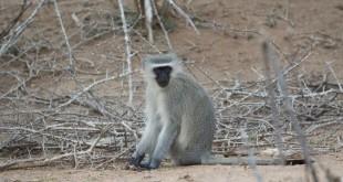 Un singe vervet, au parc Kruger. © RFI/Elisa Drago