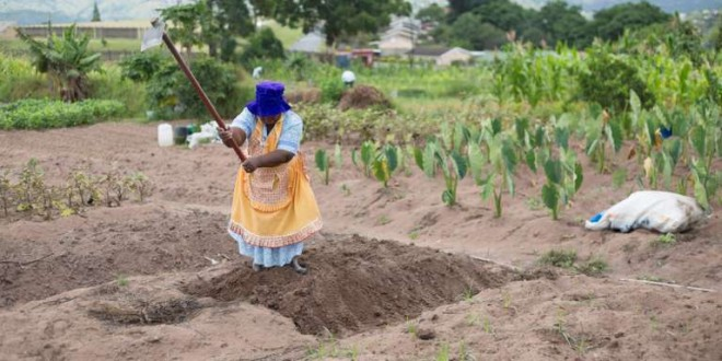 A woman works in a communal vegetable garden in KwaNdengezi, South Africa January 31, 2018. REUTERS/Rogan Ward - RC154EA9DDA0