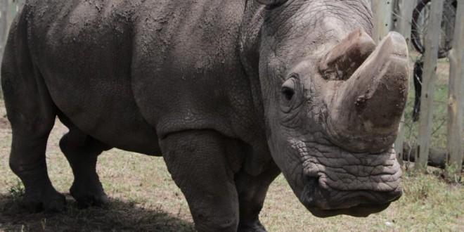 L'un des derniers rhinocéros blancs du Nord dans la réserve d'Ol Pejeta, au Kenya, le 3 mai 2017. (ANDREW WASIKE / ANADOLU AGENCY / AFP)